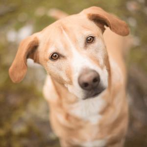 Chico, der eigentliche Chef von 7Dogs Hundebetreuung, schaut nach oben und wartet auf ein Leckerchen.